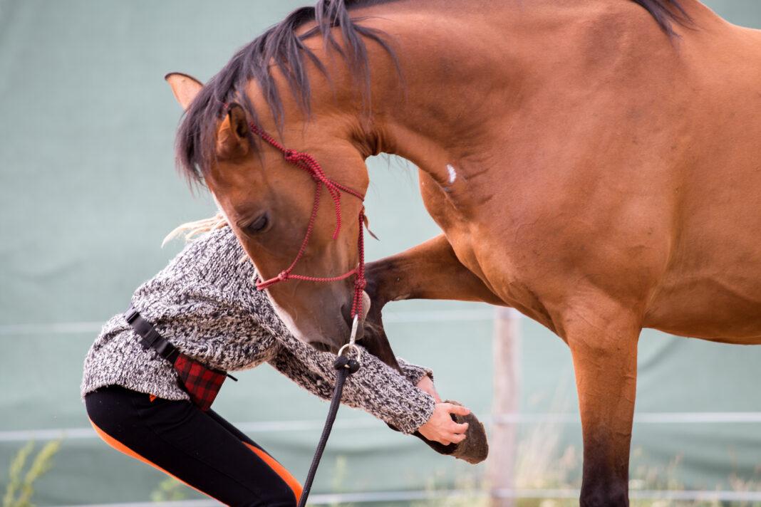 Pferd gibt den Huf - Bodenarbeit mit braunem Pferd