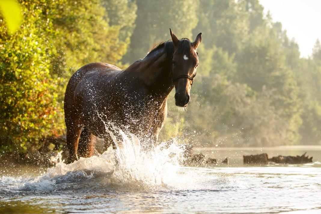 Pferd bei Hitze im See