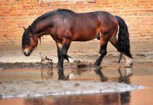 Mauke behandeln Pferd im Matsch