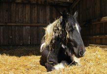 Pferd beim Fellwechsel