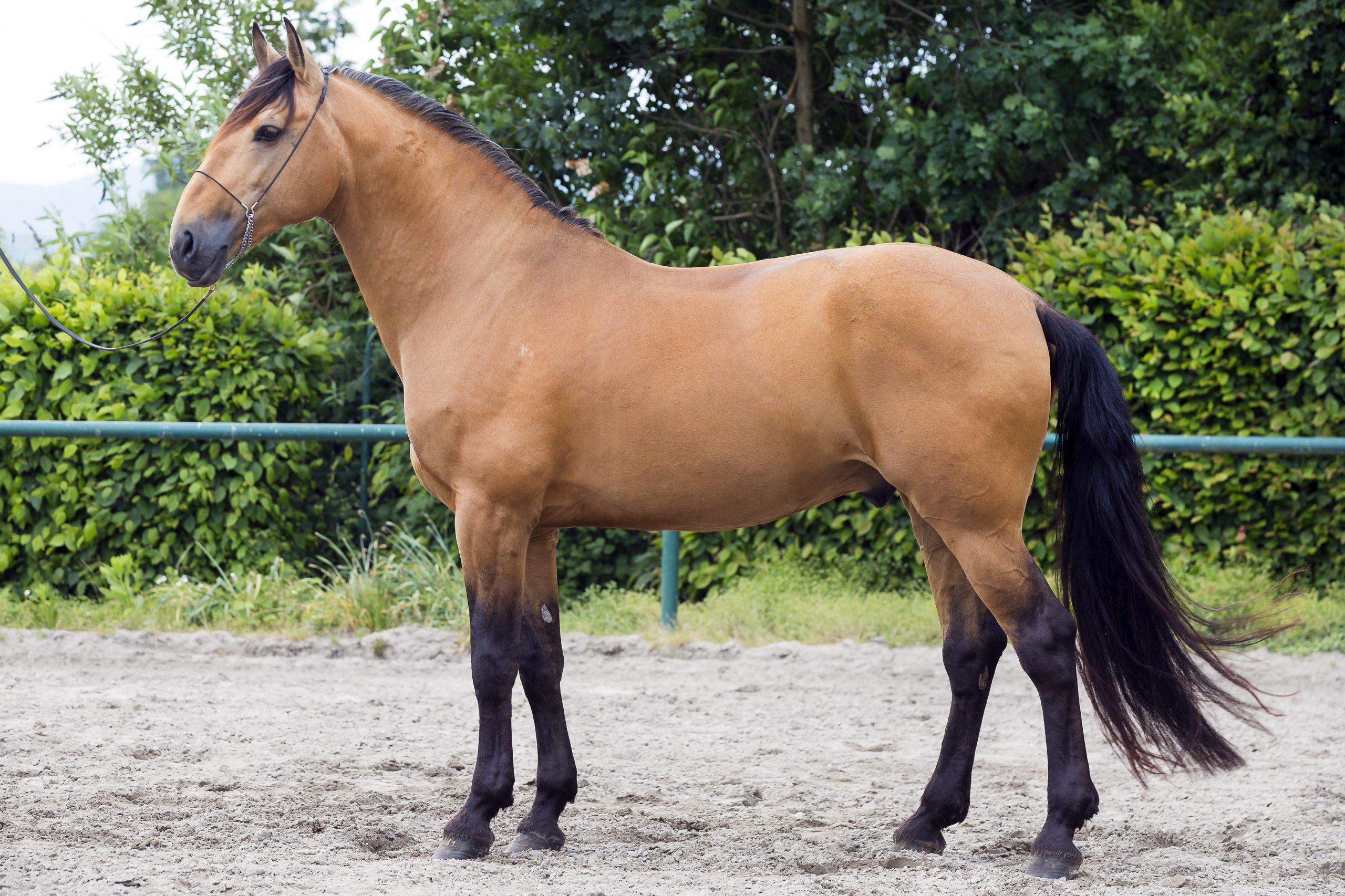 Standbild von einem Pferd mit der Fellfarbe Falbe