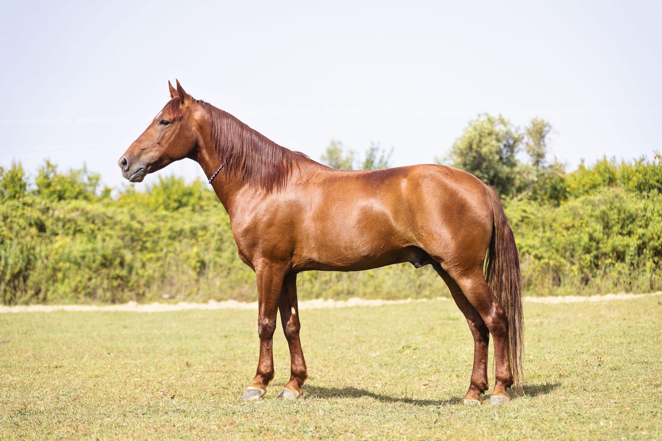 Standbild von einem Pferd mit der Fellfarbe Fuchs